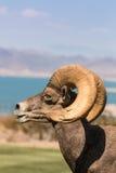 Bighorn Ram Side Portrait de désert Photographie stock libre de droits