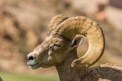 Bighorn Ram Side Portrait de désert Photo stock