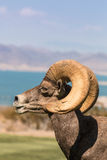 Bighorn Ram Side Portrait do deserto Fotografia de Stock Royalty Free