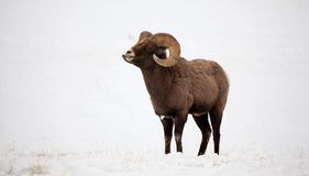 Bighorn Ram in the Snow. Photograph of a Bighorn OVIS ram near Yellowstone National Park on a cold, winter morning Royalty Free Stock Photo