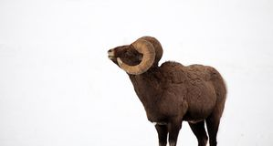 Bighorn Ram in the Snow - View of the Curl. Photograph of a Bighorn OVIS ram near Yellowstone National Park on a cold, winter morning; side view to show curl of Royalty Free Stock Image