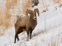 Bighorn ram on snowy slope. Rocky Mountain bighorn sheep ram on a snowy slope in Wyoming Stock Images