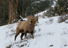 Bighorn ram on snowy slope. A Rocky Mountain Bighorn sheep ram in Wyoming Royalty Free Stock Photo