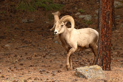 Bighorn Ram Stepping out of Woods. A Bighorn Ram stepping out of the woods in the Rocky Mountains of Colorado Stock Image