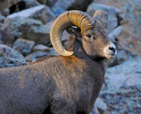 Bighorn Ram at Sunset. A Bighorn ram in the Colorado Rocky Mountains poses during sunset stock photos