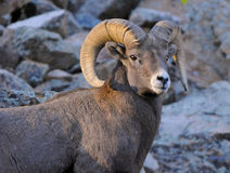 Bighorn Ram at Sunset. A Bighorn ram in the Colorado Rocky Mountains poses during sunset royalty free stock photos
