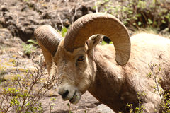 Bighorn Ram Taking A Bite Stock Photo