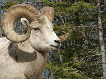 BigHorn Ram Up Close Stock Photo