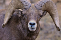 Bighorn Ram Up Close. A Bighorn Ram in the Colorado Rocky Mountains gets up close and personal royalty free stock photography