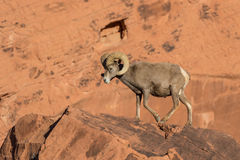 Bighorn Ram Walking do deserto Imagens de Stock Royalty Free