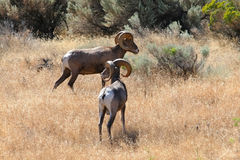 Bighorn Rams. Two mature Bighorn sheep (Ovis canadensis) Rams feed along a grassy slope in the Western U.S Stock Photos