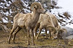 Bighorn rams Stock Images