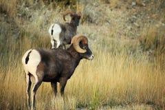 Bighorn Rams Stock Image