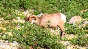 Bighorn-Schaf-Glacier Nationalpark stock video