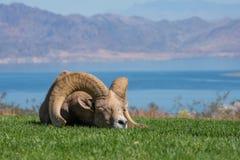 Bighorn-Schaf hält ein Schläfchen stockfotografie