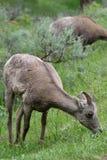 Bighorn-Schaf-Mutterschaf Stockfotos
