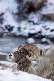Bighorn-Schaf-Profil-Porträt im Schnee Stockfotos