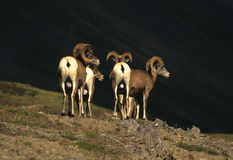 Bighorn-Schaf-RAMas Stockbild
