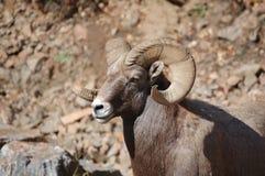 Bighorn-Schafe 02 Lizenzfreies Stockfoto