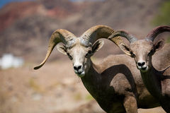 Bighorn-Schafe Lizenzfreies Stockbild