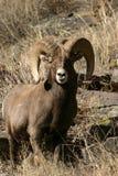 Bighorn-Schafe Lizenzfreies Stockfoto