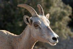 Bighorn-Schafe Lizenzfreie Stockbilder