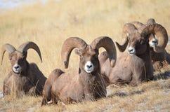 Bighorn-Schafe Stockbild