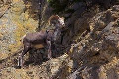 Bighorn-Schafe Stockfotos