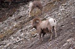 Bighorn-Schafe auf den Felsen Stockfoto