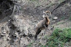 Bighorn-Schafe aufgeworfen Stockfotos