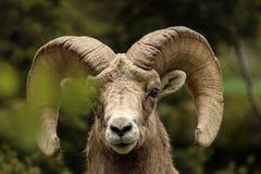 Bighorn-Schafe in Colorado lizenzfreie stockbilder