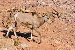 Bighorn-Schafe in der Wüste Stockfotos