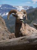 Bighorn-Schafe, die Gras mit Bergen im Abstand und im a kauen Stockfotografie
