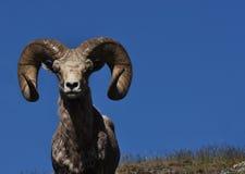 Bighorn-Schafe mit blauem Himmel lizenzfreies stockbild
