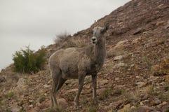 Bighorn-Schafe Nordamerikaner in den vorherigen Bergen Stockfotos