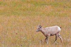 Bighorn-Schafe, Ovis canadensis Lizenzfreie Stockfotos
