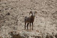 Bighorn-Schafe Ovis canadensis im Ödland-Nationalpark-Frühjahr Stockbild