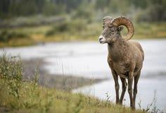 Bighorn-Schafe Ram lizenzfreies stockfoto