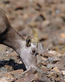 Bighorn-Schafe (weiblich) Stockbilder