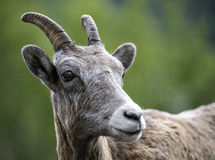 Bighorn-Schafknabe stockfoto