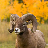 Bighorn-Schafportrait Stockfotos