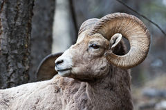 Bighorn Sheep. In Banff National Park, Alberta, Canada royalty free stock image