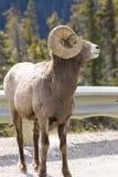 Bighorn sheep. Closeup of a full view of a bighorn sheep on a roadside in Jasper National Park, Alberta, Canada Stock Photo