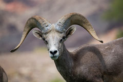 Bighorn Sheep. Wild Nevada Bighorn Sheep in desert landscape Stock Photos
