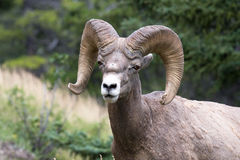Bighorn sheep. A bighorn sheep taken from a small distance, somewhere in the Rockies Royalty Free Stock Images