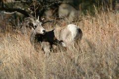 Bighorn sheep Stock Photos
