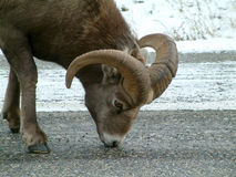 Bighorn sheep. In Kananaskis,Canada Stock Photography