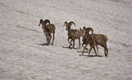 Bighorn Sheep #2 Royalty Free Stock Images