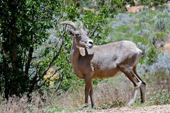 Bighorn sheep Royalty Free Stock Photos