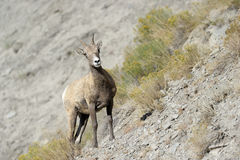 Bighorn sheep. On rocky slope at Yellowstone Royalty Free Stock Photo